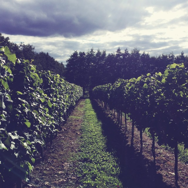 Chilford Hall vineyards, Cambridge